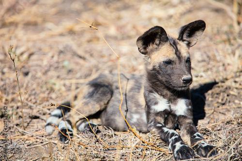 Fotobehang Natuur African Wild Dog puppy