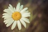 Daisy Flower Head