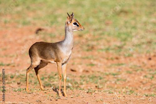 Foto Murales Dik dik antelope