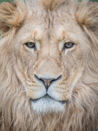 Canvas Lion Lion (Panthera leo)