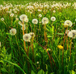 Dandelions on spring meadow. - 207545928