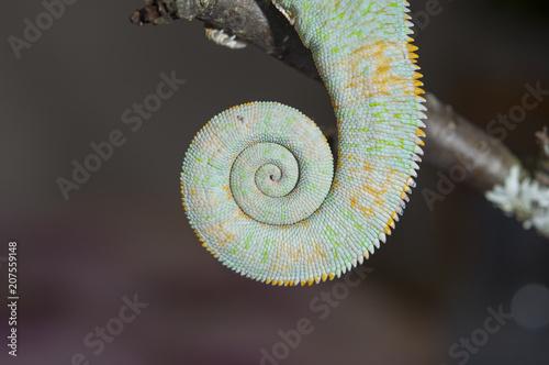 Fotobehang Kameleon La queue du caméléon