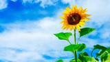 Yellow sunflower against the background of the blue sky