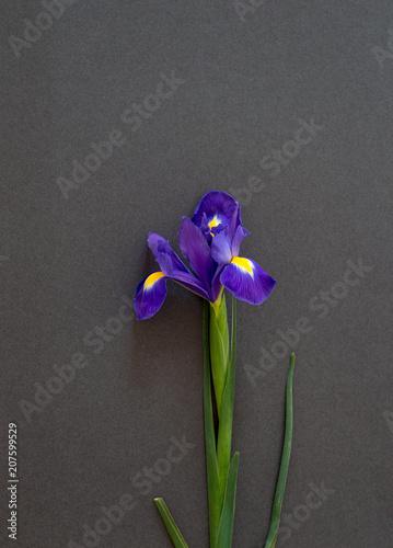 Aluminium Iris Flower of a lively blue iris lies on a dark paper, a postcard