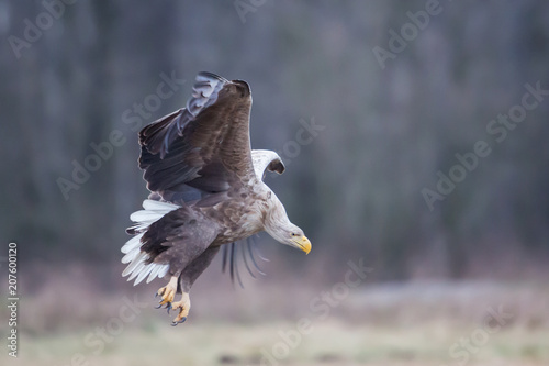 Canvas Eagle White-tailed eagle (Haliaeetus albicilla), Poland