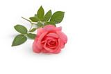 Rose liegt auf weißem Hintergrund - 207600359