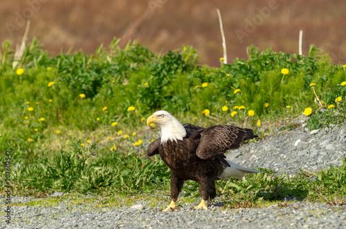 Canvas Eagle Eagle landing