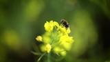 Bee collects nectar from mustard rapeseed flower slow motion. - 207607777
