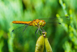 Dragonfly Insect Sitting on Plant Macro Portrait on Green Background - 207607792