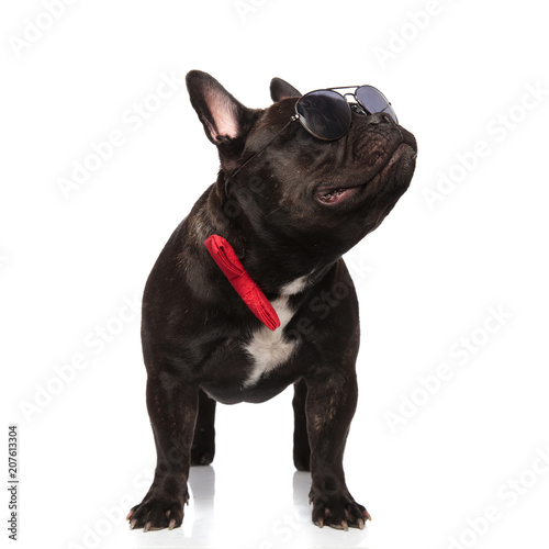 Leinwanddruck Bild cool french bulldog wearing red bowtie looks up to side