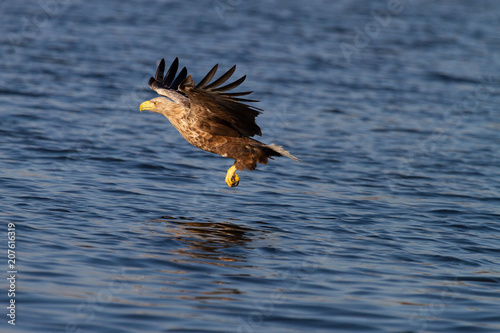 Canvas Eagle White - tailed eagle in flight.