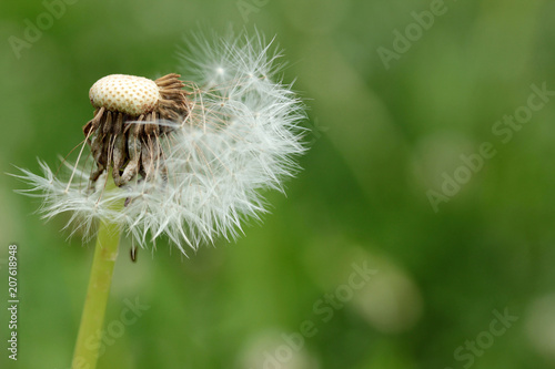 Backgrounds Dandelion Seed