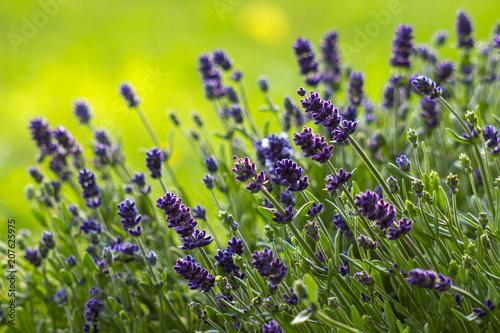lavender flowers - 207625975