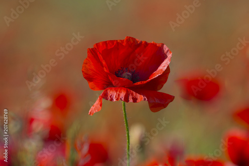 Foto Spatwand Klaprozen Poppy flower or papaver rhoeas poppy with the light