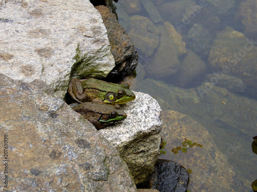 Aluminium Kikker brown and green leopard frogs on the rocks side