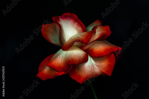 single red and white rose with petals open