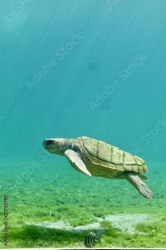 Aluminium Schildpad tortue de mer dans l'ocean indien près de l'ile de la reunion