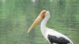 Painted stork birds. 4K Resolution - 207642169