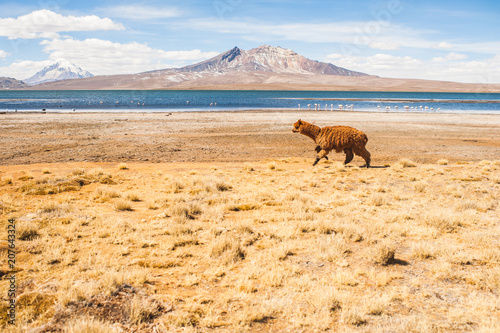 Fotobehang Beige Llama jumping in the altiplano in chile