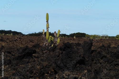 Fotobehang Chocoladebruin Galapagos Cactus