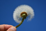 Dandelion with the sky as a background - 207660799