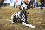 A beautiful Dalmatian dog on a leash lies on the grass and looks at the camera at an  dogs show