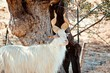 White goat on a natural background.