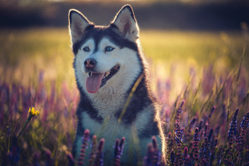 Cute husky with blue eyes sitting in green grass and lilac flowers on the meadow