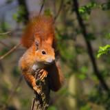 Rotes Eichhörnchen posiert lässig auf einem Holzpfahl - 207671300