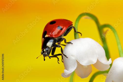 Fotobehang Lelietjes van dalen Ladybug on a flower.