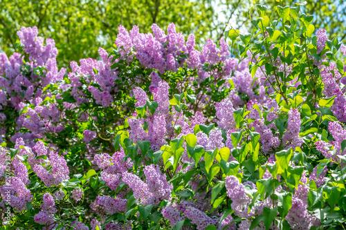 ein Busch mit viel lila Flieder