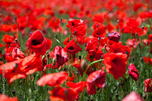 Fotobehang Rood poppies field