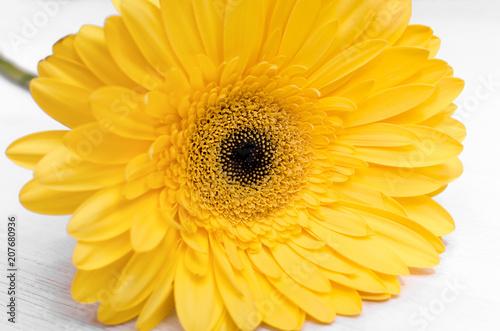 Fotobehang Gerbera Beautiful yellow gerbera flower close up isolated on white background.