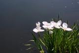 The irises blooming around the pond
