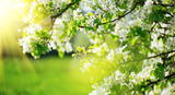 Spring blossom background. Nature scene with blooming tree and sun flare. Spring flowers. Beautiful orchard - 207686733