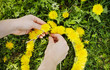 Female hands are weave a wreath of dandelions