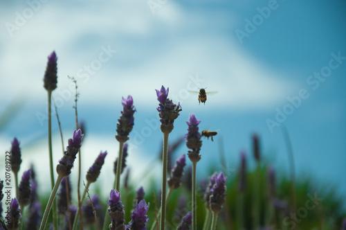 Fotobehang Lavendel Busy bee
