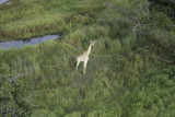 Aerial view of giraffe standing in the tall grasses near a watering hole on the savanna in Botswana