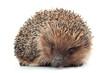 Hedgehog aniamal on white