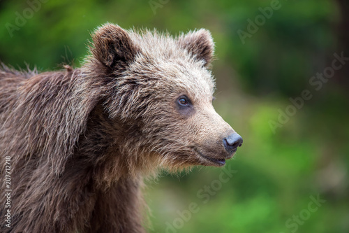 Poster Brown bear cub in a spring forest