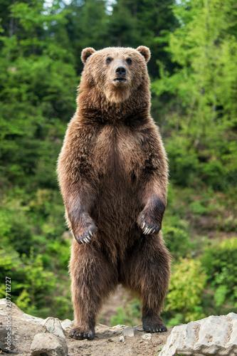 Foto Murales Big brown bear standing on his hind legs