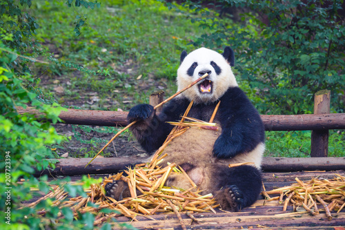 Plexiglas Panda Giant Panda eating bamboo lying down on wood in Chengdu during day , Sichuan Province, China