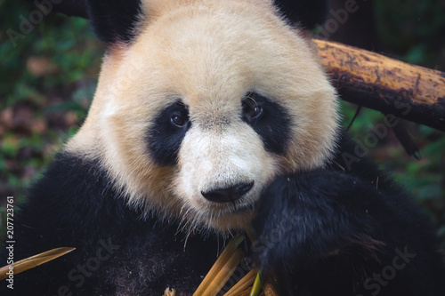 Fotobehang Panda One adult giant panda eating a bamboo stick in close up portrait during day