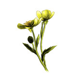 two Buttercup flowers with stems and leaves on white background, sketch vector graphic color illustration - 207728564