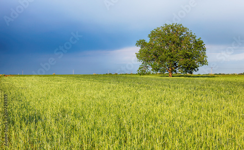 Fotobehang Lente Green fields of young wheat on a spring