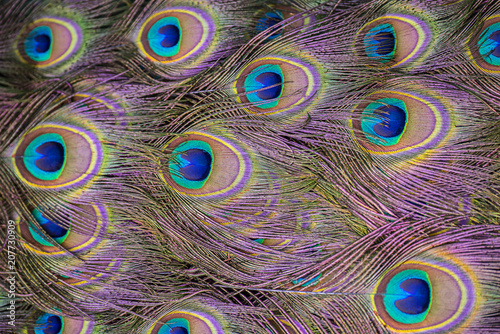 Aluminium Pauw background from peacock feathers close up