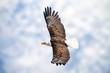 Adler mit ausgebreiteten Schwingen