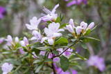 Blossoming azalea flowers, with delicate purple flowers
