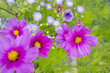 the beautiful flowerpot on balcony with Cosmos flowers and other balcony flowers - 207741988