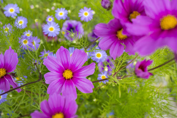 the beautiful flowerpot on balcony with Cosmos flowers and other balcony flowers